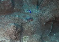 BD-090407-St-Johns-4072894-Pachyseris-sp.-Milne-Edwards---Haime.-1849-[Serpent-coral].jpg